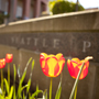 Summer tulips on SPU campus