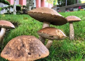 Mushrooms found on SPU campus