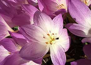 Flower Colchicum Autumnale
