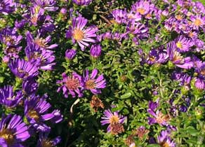Asters up close